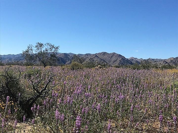 Coachella Valley Wildflowers